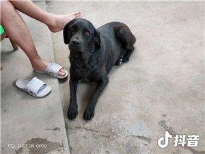 我的拉布拉多犬今天被人下了药偷去了!谁有线索,必有重谢!