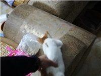 兩個月左右小貓,跟家里大貓搞不來,有要的免費送。