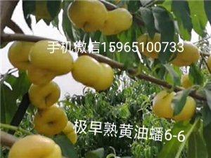山東鄒城風味天后油蟠桃苗黃油蟠6-6桃苗