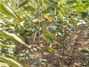 現有自家種植的櫻桃樹苗對外出售,當年的嫁接苗