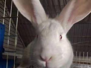 伊拉肉兔�N兔