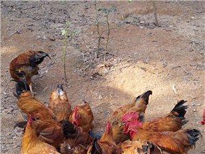 山林散养走地麻鸡