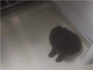 泰迪狗??