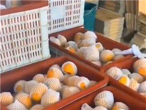 出售关中甜柿子,生吃脆甜,放软味更好!农家自产!