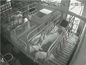 健康原生態養豬場常年大量出售優良品種仔豬