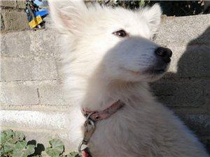 日本银狐犬