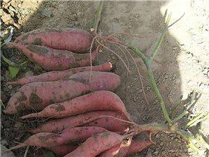 出售西瓜紅紅薯