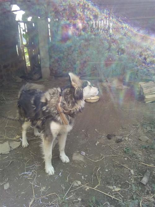 哈士奇母犬,微信13340190639。