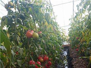 現摘現賣的大西紅柿