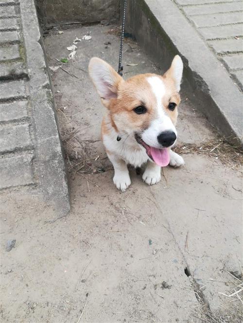 寵物狗,品種:柯基,狗齡:4個月,住樓上不方便養,狠心轉讓