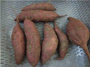 自家沙地红薯