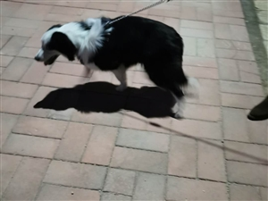宠物狗遗失