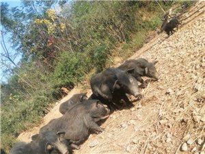 藏香猪出售