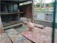 出售 大体黄卡 肉鸽 幼鸽 50一只