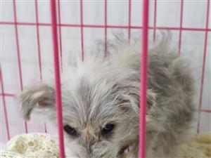 一只一个来月样子的狗狗,大概是泰迪,活泼可爱,流浪太久有一点皮肤病,前几天下雨时捡到的,现在希望有人