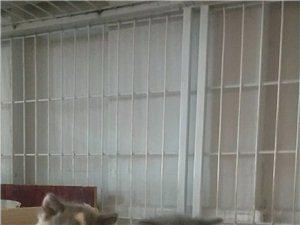 英短寵物貓貓出售