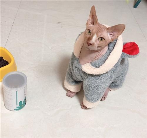 斯芬克斯無毛貓 無毛貓弟弟,一歲了,已經做過絕育。很乖,很粘人 他只是看著兇  其實很聽話 ...