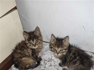 小猫俩只出售
