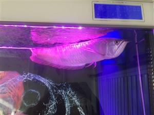 出售银龙招财鱼各一条 价格便宜 给钱就卖。有意者联系我。