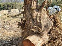 修水有人收樹枓做木雕不