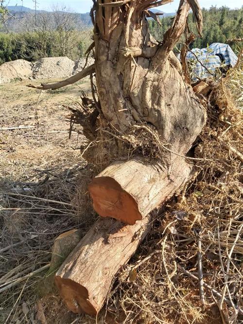 修水有人收树枓做木雕不