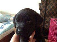 自家繁殖拉布拉多幼犬