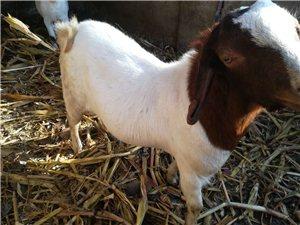 出售種公羊四只,兩歲