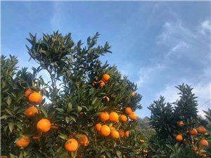 九月红鲜橙现摘现