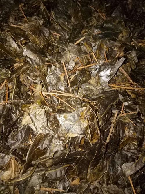 南龙中桥野生苦丁茶,老人家在老家辛苦收割加工,有三十斤左右,有需要的联系!8元一斤!