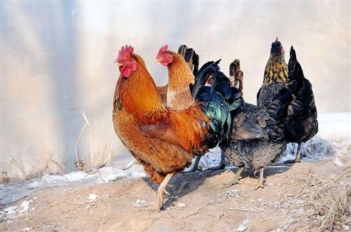 卖农村大公鸡 自己养的 每一个都在5.6斤左右 马上过年了 送礼也有面子 因为公鸡在农村妈妈家 所以...