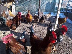 农村自家散养笨地鸡