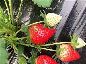 莓之语草莓园
