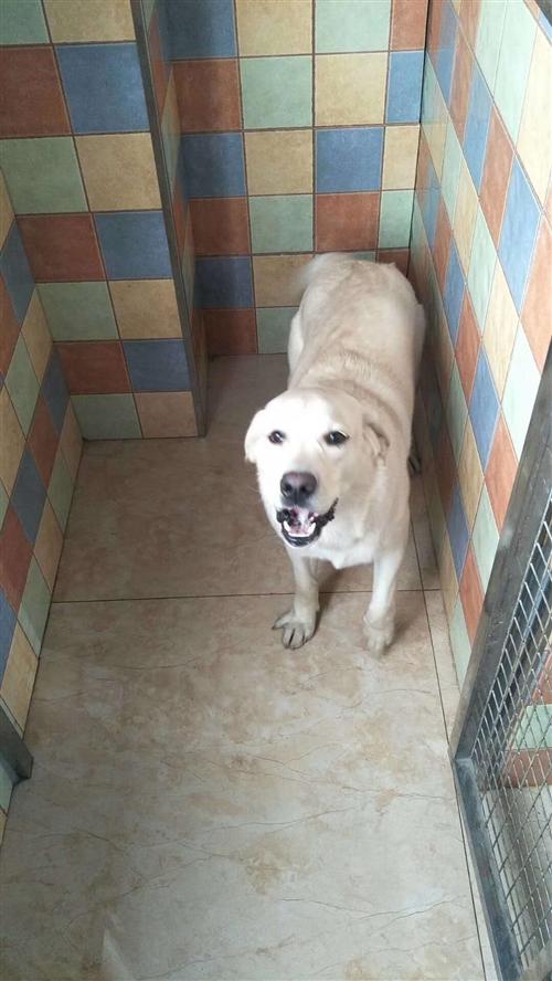 拉布拉多,个人犬只,疫苗齐全,无病无癣