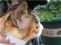 我的貓走失了,簡州貓,母貓,6個月,脖子上戴有紅繩掛有小魚掛飾,新天地小區附近走失,如有遇見,望告之...