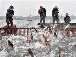 香山湖野生鱼冬季大捕捞