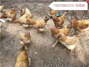 真正谷物玉米喂养的山地土鸡可以出栏了!月子鸡,阉鸡。