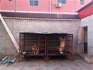 纯铁狗笼子,带石棉瓦,两个1000处理
