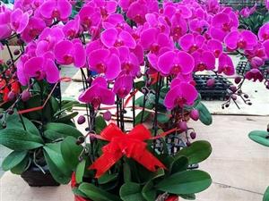 出售出租各种绿植、花卉、盆景。自己在临潼有实体店。需要的欢迎骚扰!