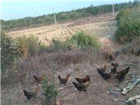 山上放養的土雞出售  全吃稻谷,就兩百多只,數量不多,母雞68元一只任選,每只重量在兩...