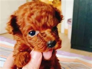 自己家里养的泰迪狗狗下的狗仔,男生。现在四十多天,玩具型的泰迪品种,长大基本就七八斤左右。有喜欢的电...