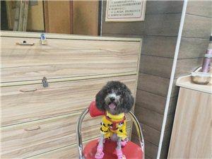 寻找在峡江的宠物爱好者,帮忙寻找泰迪公狗配种,事后出生免费赠送一只小狗本人想同城互动联系电话1507