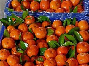 砂糖橘便宜賣