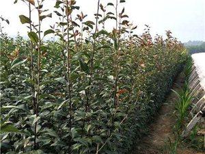 出售大量果树苗,有桃树苗,杏树苗,苹果苗