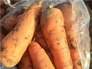 出售大量红萝卜现挖现卖