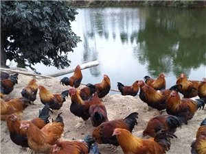 出售山中放養250天清遠閹雞