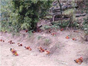 散养粮食鸡(包杀包送)