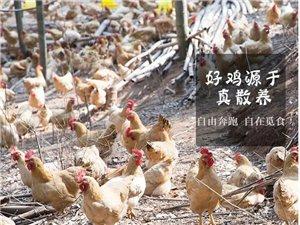 良纯散养土鸡