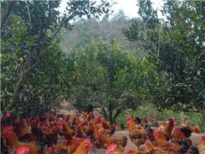 柑橘地散养鸡