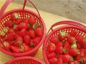 找草莓代理商