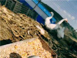 血本低价出售农村纯玉米饲养大白鹅和鹅蛋